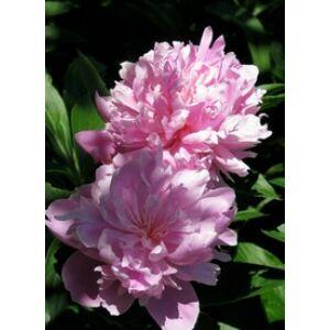 Paeonia lactiflora 'Sarah Bernhardt' - Illatos bazsarózsa