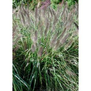 Pennisetum alopecuroides 'Moudry' - Lilásbarna évelő tollborzfű