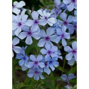 Phlox divaricata 'Chattahoochee' - Terpedt lángvirág (kék)