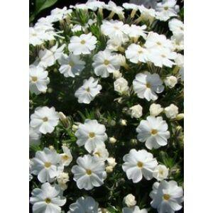 Phlox douglasii 'White Admiral' - Törpe lángvirág (fehér)
