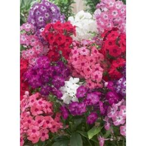 Phlox paniculata - Bugás lángvirág színkeverék
