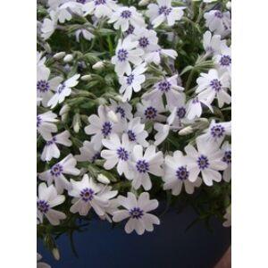Phlox subulata 'Bavaria' - Halványkék árlevelű lángvirág