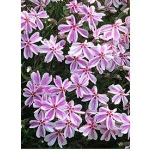 Phlox subulata 'Kimono Pink White' - Fehér, rózsaszín árlevelű lángvirág