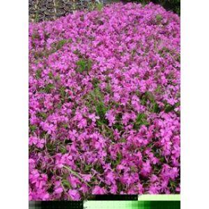 Phlox subulata 'McDaniel's Cushion' - Sötétrózsaszín árlevelű lángvirág