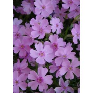Phlox subulata 'Ronsdorfer Schöne' - Rózsaszín árlevelű lángvirág