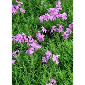 Phlox subulata 'Samson' - Árlevelű lángvirág (lilás-piros)