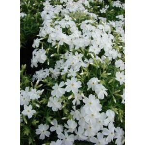 Phlox subulata 'White Delight' - Fehér árlevelű lángvirág
