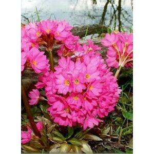 Primula rosea 'Grandiflora' - Rózsakankalin