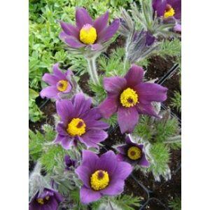 Pulsatilla vulgaris 'Pinwheel Blue Violet Shades' - Liláskék nyugati kökörcsin