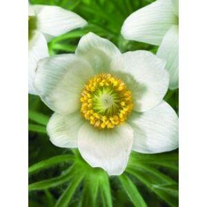 Pulsatilla vulgaris 'Pinwheel White' - Fehér nyugati kökörcsin