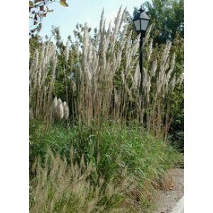Saccharum ravennae - Ravennai cukornád