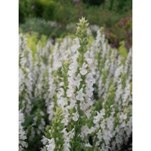 Salvia nemorosa 'Sensation Compact White' - Fehér ligeti zsálya