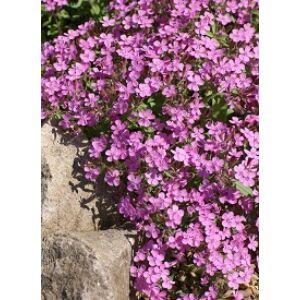 Saponaria ocymoides 'Rose' - Gyepes szappanfű