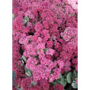 Sedum 'Amber Red' - Sötét rózsaszín varjúháj (14-es cserépben)