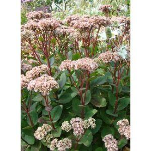 Sedum 'Matrona' - Varjúháj (rózsaszín virág, bordó száron)