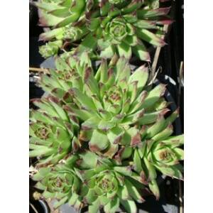 Sempervivum 'Turmalin' - Kövirózsa (rózsaszín)