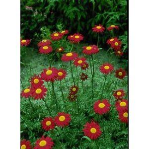Tanacetum coccineum 'Robinson's Red' - Színes margaréta (piros)