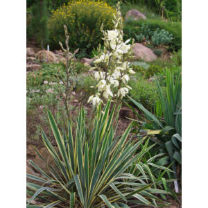 Yucca filamentosa 'Bright Edge' - Fehér tarka levelű kerti pálmaliliom - 2 literes cserépben