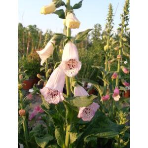 Digitalis purpurea 'Alba' - Pettyegetett fehér gyűszűvirág