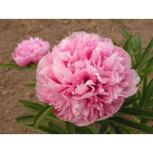 Paeonia officinalis 'Rosea Plena' -  Keleti bazsarózsa