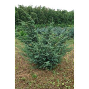 Juniperus chinensis 'Blue Alps' - Kínai boróka