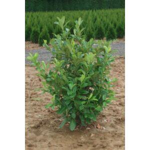 Prunus laurocerasus 'Rotundifolia' - Rotundifolia babérmeggy