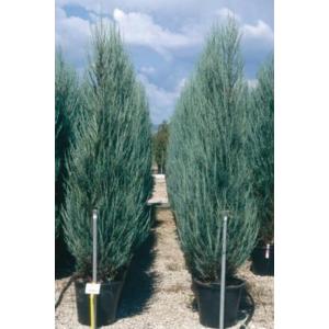 Juniperus virginiana 'Skyrocket' - Rakéta boróka