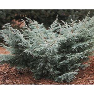 Juniperus virginiana 'Grey Owl' - Kéklombú virginiai boróka
