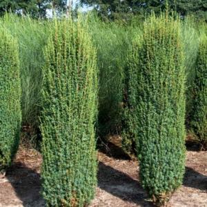Juniperus communis 'Hibernica' - Ír oszlopos boróka