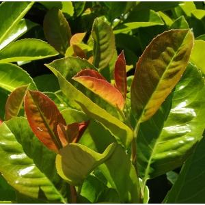 Prunus laurocerasus 'Baumgartner' - Baumgartner babérmeggy