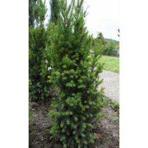 Taxus baccata 'Overeynderi' - Oszlopos tiszafa