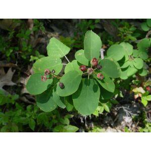 Amelanchier spicata - Fanyarka