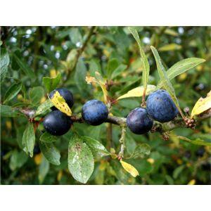 Prunus spinosa - Kökény