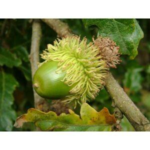 Quercus cerris - Csertölgy