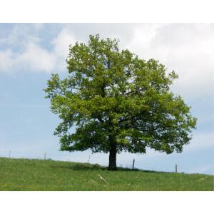 Quercus robur – Kocsányos tölgy