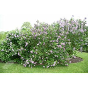 Syringa vulgaris – Közönséges orgona