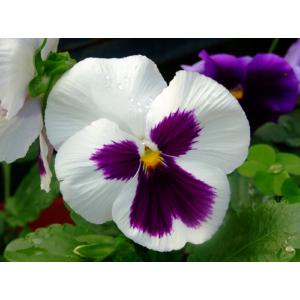 Viola x wittrockiana - Árvácska