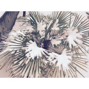 Trachycarpus hybrid - Télálló pálma