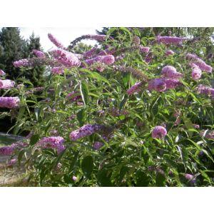 Buddleia davidii - Nyáriorgona
