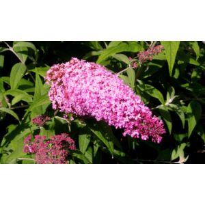 Buddleia davidii 'Pink Delight' - Rózsaszín nyáriorgona