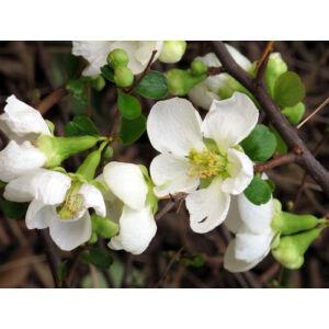 Chaenomeles x superba 'Jet Trail' - Fehér virágú japánbirs