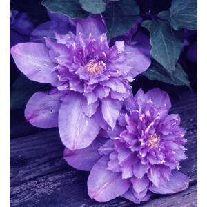 Clematis 'Vyvyan Pennell' - Dupla, lila iszalag