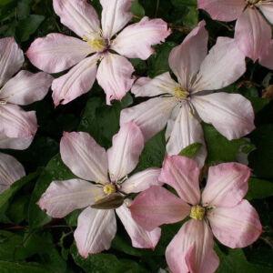 Clematis 'Ai-Nor' – Iszalag (púder rózsaszín virágú)