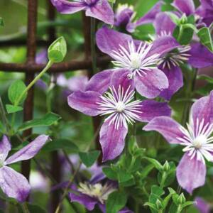 Clematis 'Arabella' – Iszalag (lila, szimpla)