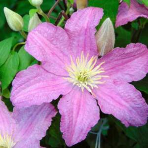 Clematis 'Comtesse de Bouchaud' - Iszalag (rózsaszín virágú)