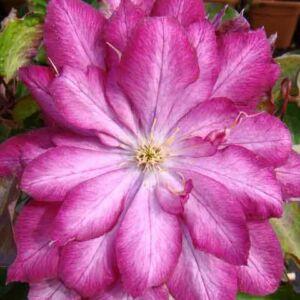 Clematis 'Kaen' – Iszalag (rózsaszín fehér középpel, dupla)