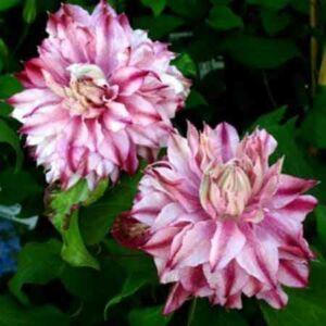 Clematis 'Patricia Ann Fretwell' – Iszalag (rózsaszín sötét rózsaszín csíkkal, telt)