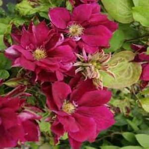 Clematis 'Red Star' – Iszalag (bíborpiros, szimpla)