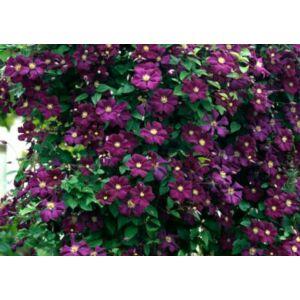 Clematis 'Etoile Violette' - Mélylila iszalag