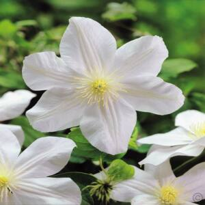 Clematis 'Mad Lecoultre' - Fehér iszalag